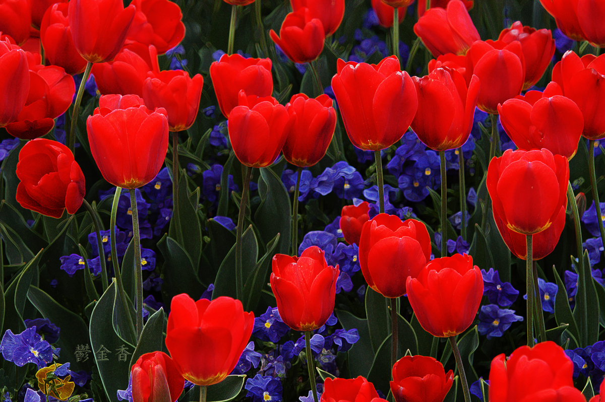 Red tulips, blue pansies